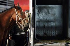 (Atraz) Tags: horses horse madonna della cavalli cavallo animali fera degli fiera campi salentina mercede