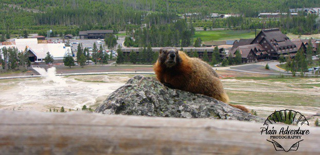 Wildlife Photography: Number 23 Yellow Bellied Marmot