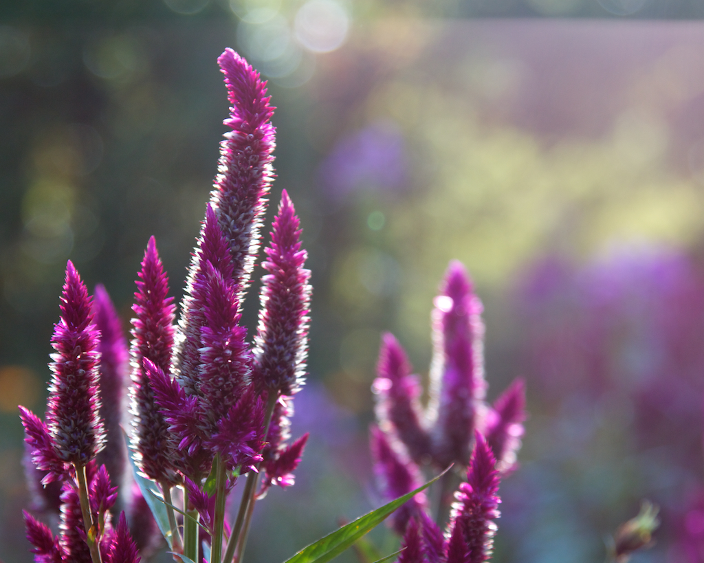 Purple Fuzzies