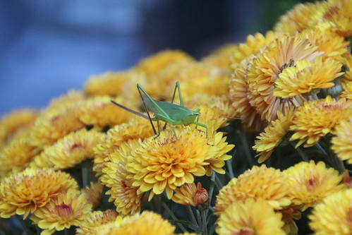 Grasshopper on Mums