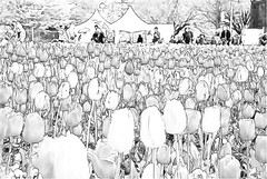 Spring Flowers of the Floriade 2011 (Smiley Man with a Hat) Tags: flowers colour photoshop sketch spring nikon tulips australia adobe elements bulbs canberra act floriade 2011 d80 akvis akvissketch commowealthpark