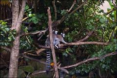 Auckland Zoo - Lemurs