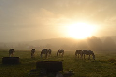 Au petit matin... (Love for mom) Tags: sunset horses landscape paysage chevaux levdesoleil