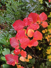 Fothergilla fall color B