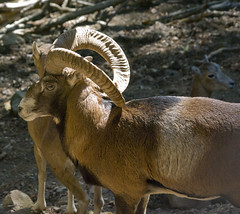 Mouflon (Sandy Beach Cat) Tags: brown mountain sheep pentax horns cyprus feral mouflon k10d cyprus2011