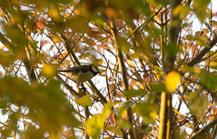 GREAT TIT IN CAMOUFLAGE (jdoakey) Tags: uk greatbritain trees england sky plants plant colour detail tree green bird eye beautiful up animal silhouette yellow woodland golden wings stem pretty day branch colours close britain gorgeous sony tail great norfolk wing beak feathers feather hedge stems stunning norwich trunk british lovely alpha dslr favourite fen animalplanet greattit striped oakley tailed strumpshaw a55 strumpshawfen flickraward flickraward sonya55 theinspirationgroup