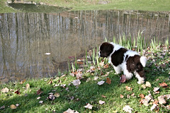Thinking about it. (MEB 1202) Tags: puppy zack newfoundlands