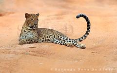 Curved (Sara-D) Tags: cat sara sri lanka leopard species srilanka ceylon endangered bigcats yala predators wildanimals endangeredspecies panthera pantherapardus pardus pantheraparduskotiya kotiya leopardsofyala flickrbigcats lankaleopard