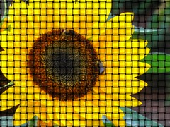 "Sunflower Weave (G.A.) (brooksbos) Tags: summer sun color colour colors boston ga geotagged ma photography photo colorful colours farmersmarket market sony newengland cybershot sunflower colourful bostonma copley backbay sonycybershot copleysquare masschusetts market"" 02116 ""farmers hx5v"