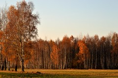 Jesień (September Songs) Tags: autumn birches jesień brzozy