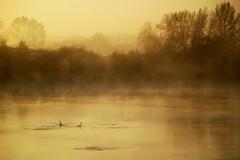 Embrumés (photosenvrac) Tags: photo loire oiseau cygne brume matin