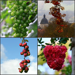 Kinds of grapes (:Linda:) Tags: apple rose collage germany vine thuringia grape rowantree weinrebe eberesche umbel similarto vogelbeerbaum resembling hnlich ebereschenbaum