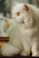 Mirror (Ale Figueroa) Tags: pet white car animal yellow mirror eyes feline room inside brightness kiara persa lightt
