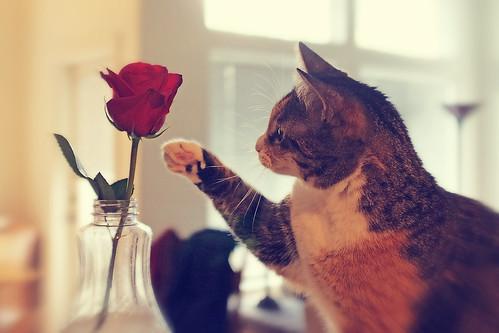 無料写真素材, 動物 , 猫・ネコ, 薔薇・バラ