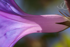 Pink & Purple (jo clegg) Tags: pink abstract flower macro canon purple canondslr canoneos fineartphotography tresco islesofscilly abbeygardens canon5dmarkii