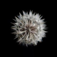Dandilion (ericimbs) Tags: flowers bw black monochrome olympus ep3 hexanon whiteblackwhite konicahexanon olympusep3 ericimbs konicahexanonar57mm