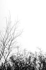 (Flavio Piffer) Tags: trees blackandwhite white black tree art nature fog alberi contrast flora experiment spine nebbia albero piante bacche bianco nero marche biancoenero rami netto contrasto esperimento rovi arbusti grovigli awesometrees
