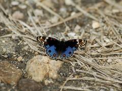 Eyed Pansy (Makgobokgobo) Tags: africa butterfly insect pansy uganda junonia apoka narus kidepo bluepansy junoniaorithya eyedpansy kidepovalleynationalpark narusvalley kvnp kidepovalley