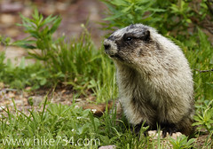 "Marmot • <a style=""font-size:0.8em;"" href=""http://www.flickr.com/photos/63501323@N07/6389798249/"" target=""_blank"">View on Flickr</a>"