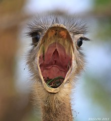 Ostrich (ruslou (More off than on)) Tags: southafrica ostrich struthiocamelus volstruis warmbaths belabela birdperfect