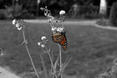 Monarch Butterfly (Bearcats Photography) Tags: butterflies elementsorganizer photoshopedstuff colorandbwbackground