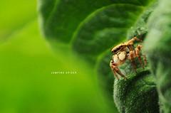 [278/365] Jumping Spider (Dodzki) Tags: nikon september pcc 2011 cebusugbo d5000