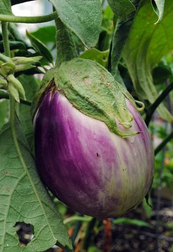 Rosa Bianca Eggplant