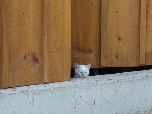 Barn cat white_0785