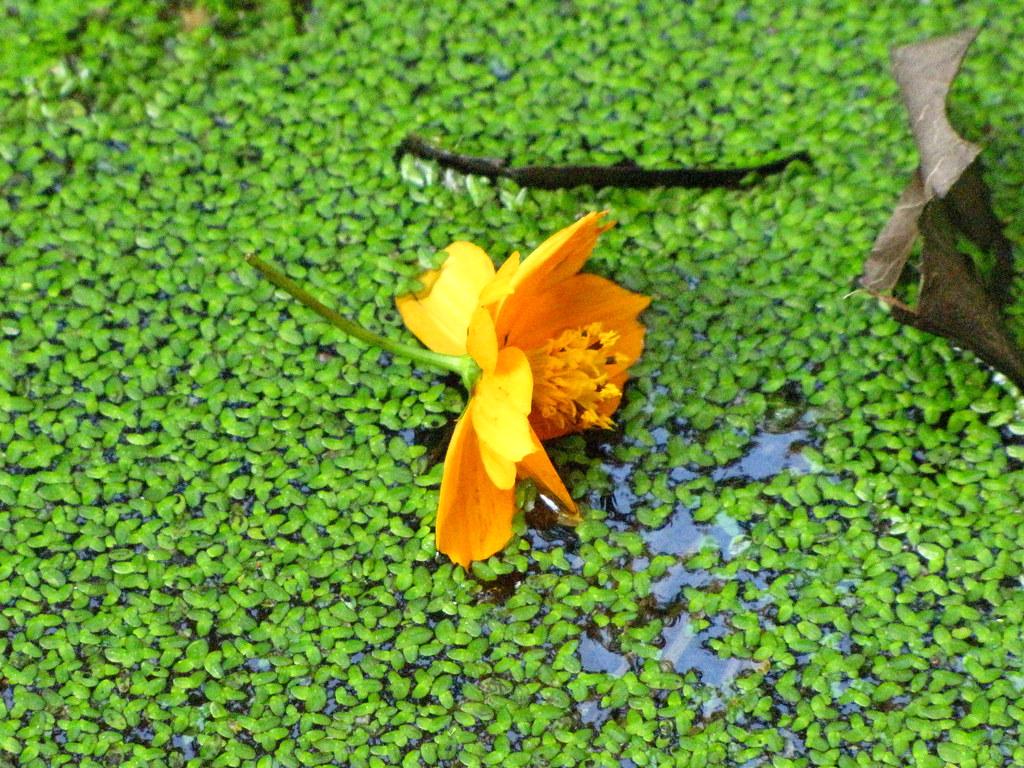 img 4579 - Yellow blossom in green duckweed