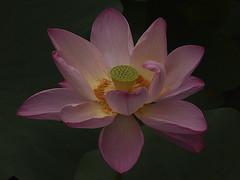 FLOR DE LOTO EN ROSA (EXPLORE) (titoalfredo) Tags: asia kamakura japon flordeloto mygearandme mygearandmepremium mygearandmebronze mygearandmesilver lagodelotos lotosgigantes