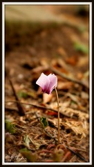 Lone Star (Stephanie J Butler) Tags: uk pink autumn flower nature garden europe natural sony ground petal single bloom lone lonely a200 cyclamen wonderfulworldofmacro wonderfulworldofflowers mygearandme ringexcellence dblringexcellence