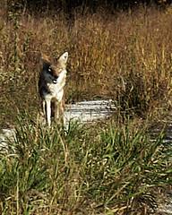 Coyote ~ 6 of 10 photos