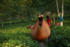 tea plucker works at tea garden (imjuthy) Tags: color canon garden women tea outdoor works 5d sylhet bangladesh markii plucker picker srimangal imjuthy razkie photobyjuthy blinkagainsharminchoudhuryjuthy