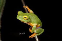 Graceful Tree Frog (Litoria gracilenta) (Gus McNab) Tags: tree amphibian frog frogs amphibians graceful herp herps dainty herpetology amphibia hylidae litoria hylid gracilenta hylids
