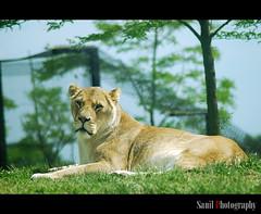 Lioness (Sanil Photography [800K views]) Tags: life england london nature animal zoo unitedkingdom lion lioness dunstable sanil anawesomeshot flickraward nikond40x nikonflickraward whipsinade myfocuz sanilphotography linsaworld