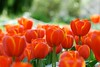 here is where it begins (*sapa*) Tags: flowers orange spring tulips storypeople ithinkeveryonecancommentontheblognowsodoit