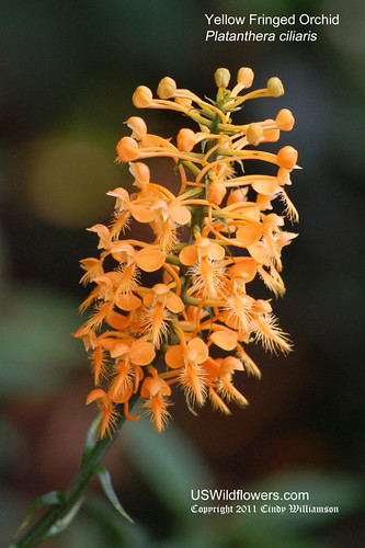 Yellow Fringed Orchid, Orange Fringed Orchid - Platanthera ciliaris