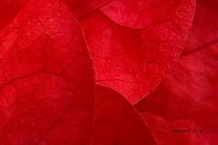 Ptalos de Trinitaria, Detalle/Ptalos de Boungainvillea, Detalle/Bougainvillea Petals, Detail (Altagracia Aristy) Tags: macro petals amrica dominicanrepublic bougainvillea tropic caribbean supermacro antilles laromana caribe buganvillea repblicadominicana ptalos trinitaria trpico antillas quisqueya altagraciaaristy fujifilmfinepixhs10 fujihs10 fujifinepixhs10 carabi