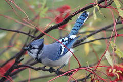 """Ok, so, if I hang on to the branch facing the wind this way, it won't mess up my hairdo!"" ~ Explore (~ Paula B) Tags: nature birds newfoundland ngc bluejay specanimal"