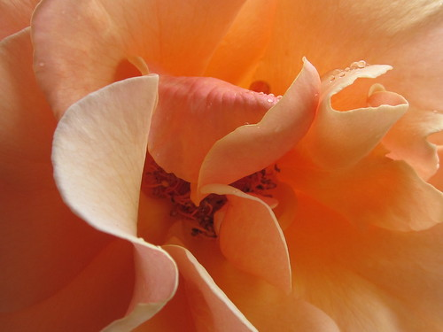 Peach Rose Flower Petals