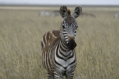 I see you! (Pete Foley) Tags: africa fab tanzania safari zebra afrika serengeti flickrsbest theunforgettablepicture vanagram