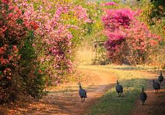 Guinea fowl w