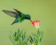 Western Emerald Hummingbird on Flower
