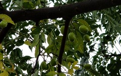 Chinaberry: Fruits