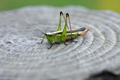三保市民の森のヤブキリ(Grasshopper, Miho Community Woods)