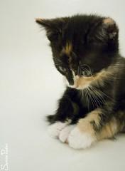 20100915_05825b (Fantasyfan.) Tags: cute animal topv111 furry topv333 kitten fluffy thinking paws wondering touching pondering sota fantasyfanin pikkulintu siirretty