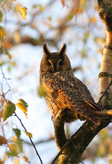 Autumn owl (Pepijn Hof) Tags: autumn colour bird eye nature canon natuur owl vogel berk herst longeared asio uil 300mmf4 ransuil asiootus 40d avianexcellence