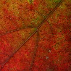 Oak Leaf: Red (Dendroica cerulea) Tags: autumn plant tree garden leaf newjersey oak nj foliage highlandpark redoak fagaceae middlesexcounty northernredoak quercusrubra