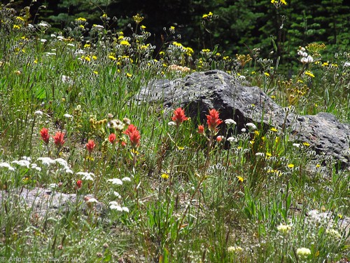 Wildflowers on Columbia Mountain, Colville National Forest, Washington