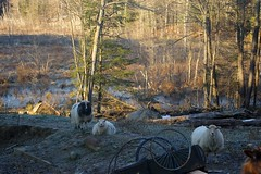 Sheeps in the pretty morning light